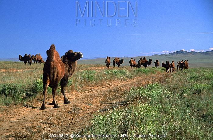 Bactrian Camel (Camelus bactrianus) domestic animal Gobi desert, Mongolia, Central Asia  -  Konstantin Mikhailov/ npl