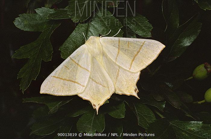 Swallow-tailed Moth (Ourapteryx sambucaria), United Kingdom  -  Mike Wilkes/ npl