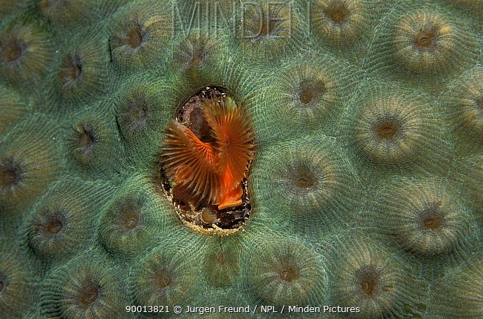 Christmas Tree Worm (Spirobranchus giganteus) on coral, Caribbean  -  Jurgen Freund/ npl