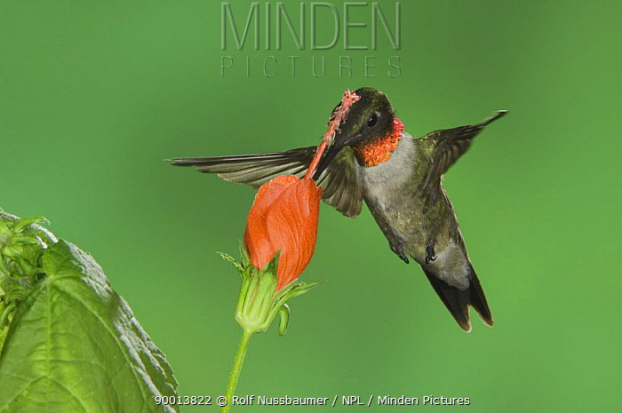 Ruby-throated Hummingbird (Archilochus colubris) male feeding on Texas Turk's Cap flower(Malvaviscus drummondii) Rio Grande Valley, Texas  -  Rolf Nussbaumer/ npl