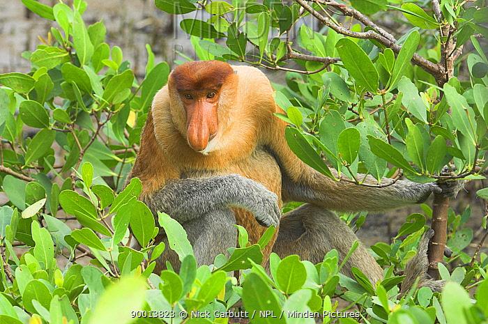 Proboscis Monkey (Nasalis larvatus) adult male sitting in mangroves Bako National Park, Sarawak, Borneo, Malaysia  -  Nick Garbutt/ npl