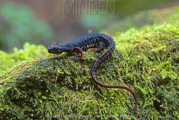 Spectacled salamander (Salamandrina terdigitata) adult female on mossy rock Italian endemic species Lazio, Italy  -  Bruno D'amicis/ npl