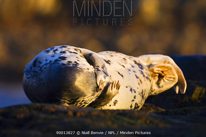 Grey Seal (Halichoerus grypus) female at haul out site, Islay, Argyll, Scotland United Kingdom  -  Niall Benvie/ npl