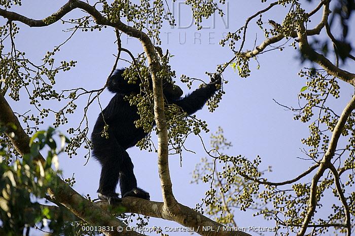 Eastern Chimpanzee (Pan troglodytes schweinfurthii) picking fruit from a fig tree in the Kibale Forest, Kibale National Park, Uganda  -  Christophe Courteau/ npl