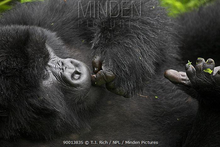 Mountain gorilla (Gorilla berengei berengei) cleaning, biting nails, Parc des Volcans NP, Rwanda  -  T.J. Rich/ npl