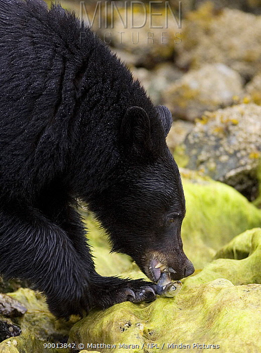 Black Bear (Ursus americanus) eating fish on rocks Clayoquot Sound, Vancouver Island, Canada  -  Matthew Maran/ npl