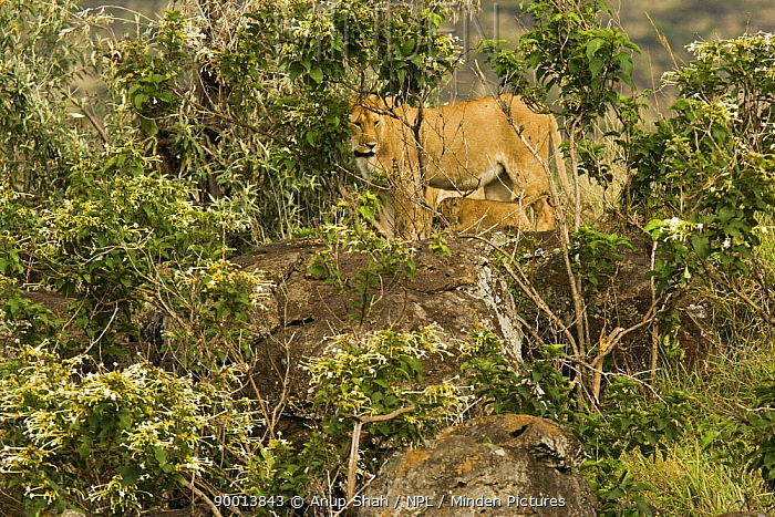 African Lion (Panthera leo) lioness with young cubs camouflaged amongst vegetation, Masai Mara GR, Kenya  -  Anup Shah/ npl