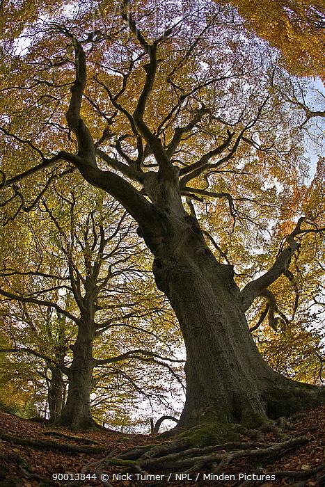 Looking up at autumnal Beech Woodland (Fagus sylvatica), Gloucestershire, UK  -  Nick Turner/ npl