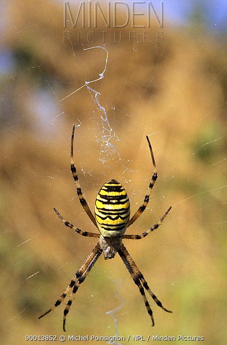 Wasp Spider (Argiope bruennichi) on web, Lorraine, France  -  Michel Poinsignon/ npl