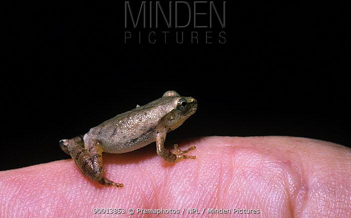 Spring peeper frog (Pseudacris, Hyla crucifer) sitting on a finger to show how tiny it is, South Carolina, USA  -  Premaphotos/ npl