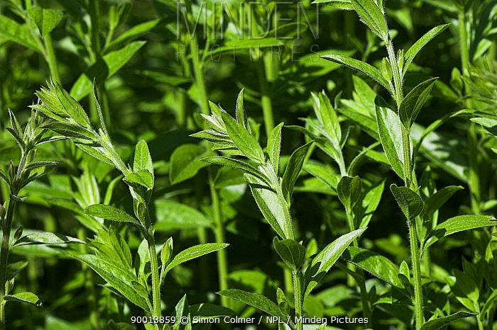 Dyer's Greenweed (Genista tinctoria) UK  -  Simon Colmer/ npl