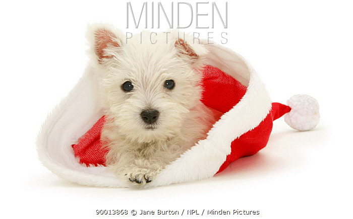 West Highland White Terrier puppypy in a Father Christmas hat  -  Jane Burton/ npl