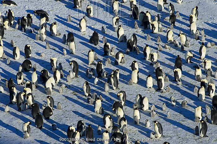 Emperor Penguin (Aptenodytes forsteri) adult and chicks on ice, Antarctica  -  Fred Olivier/ npl
