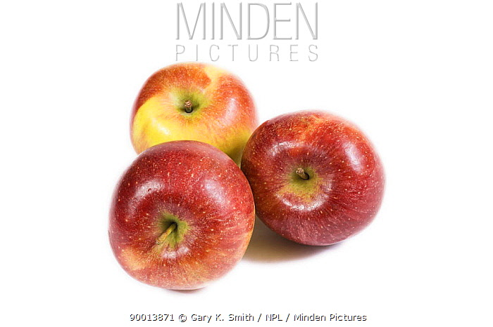 Three Braeburn Apples (Malus domesticus)  -  Gary K. Smith/ npl