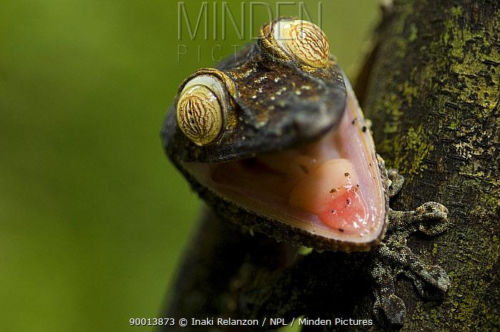 Common Fiat-tail Gecko (Uroplatus fimbriatus) with mouth open, Nosy Mangabe, Northeast Madagascar  -  Inaki Relanzon/ npl