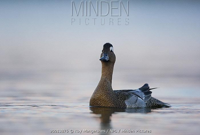 Garganey (Anas querquedula) male, Norway  -  Roy Mangersnes/ npl