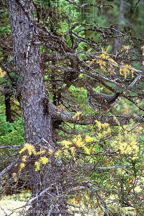 Spruce Grouse (Dendragapus canadensis) female N Quebec, Canada  -  Jose Schell/ npl