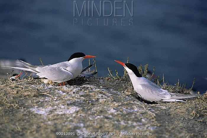 South American Tern (Sterna hirundinacea) at nest colony, Valdez peninsula, Argentina  -  Gabriel Rojo/ npl