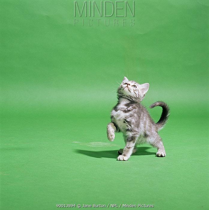 Domestic Cat (Felis catus) 9-week-old kitten playing  -  Jane Burton/ npl