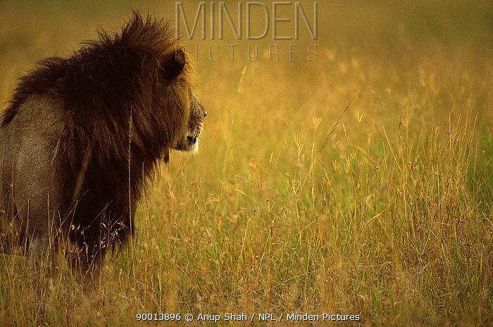 African Lion (Panthera leo) male profile portrait, Masai Mara reserve, Kenya  -  Anup Shah/ npl