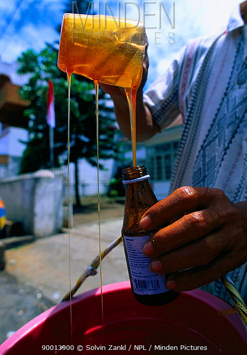 Bottling honey that has been harvested from nest of Giant honey bee (Apis dorsata binghami) North Pamona sub-district, Sulawesi, Indonesia  -  Solvin Zankl/ npl