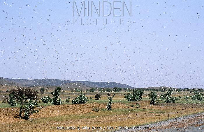 Desert Locust (Schistocerca gregaria) locusts killed by road traffic, SW Mauritania, N Africa  -  Mike Potts/ npl