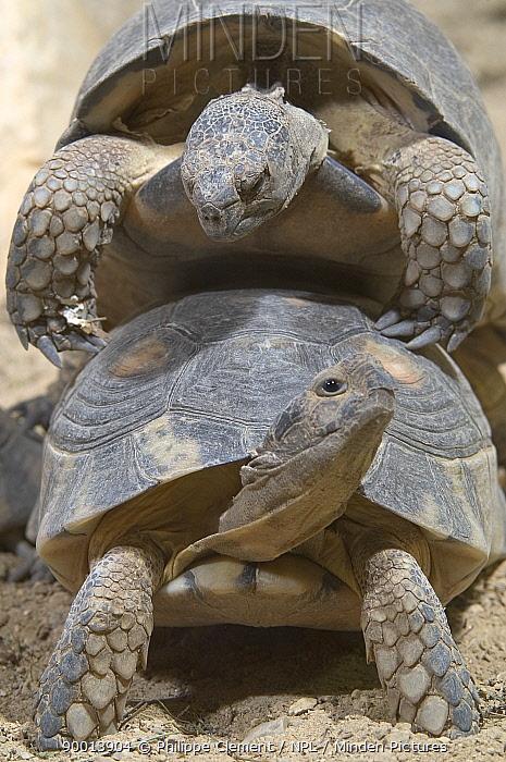 Marginated Tortoise (Testudo marginata) mating Greece,  -  Philippe Clement/ npl