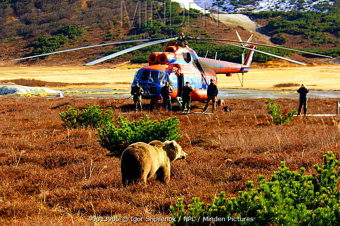 Brown Bear (Ursus arctos) come to bid Igor goodbye as he boards the helicopter to journey home, after seven months of living side by side on Kamchatka Kronotsky Zapovednik Reserve, Kamchatka, Russia  -  Igor Shpilenok/ npl