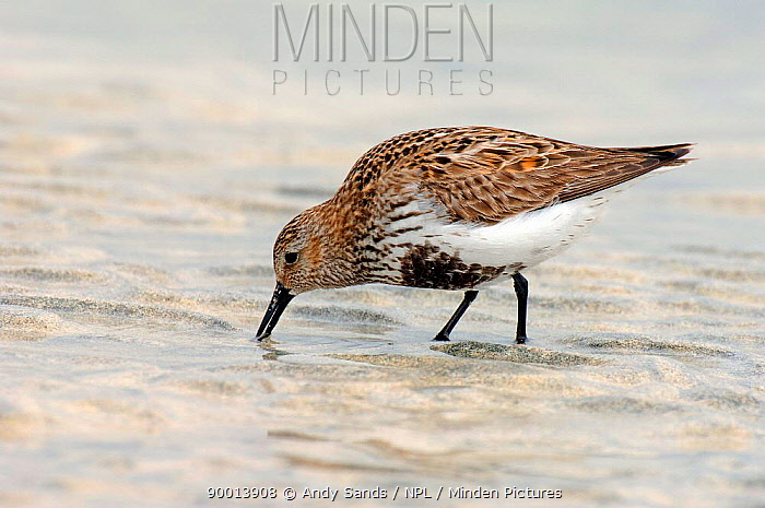Dunlin (Calidris alpinus, alpina) male with breeding plumage feeding at low tide, North Uist, Outer Hebrides, Scotland  -  Andy Sands/ npl