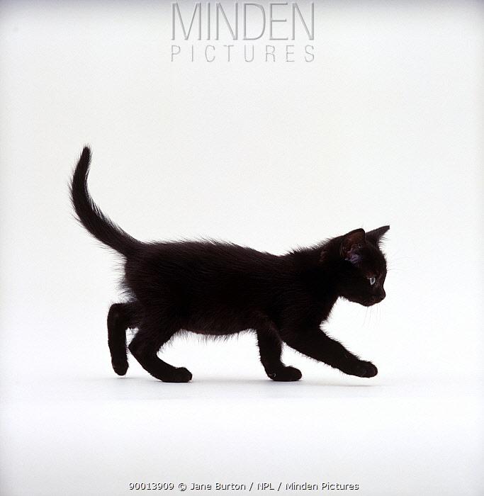 Domestic Cat (Felis catus) 9-week Black kitten profile walking  -  Jane Burton/ npl