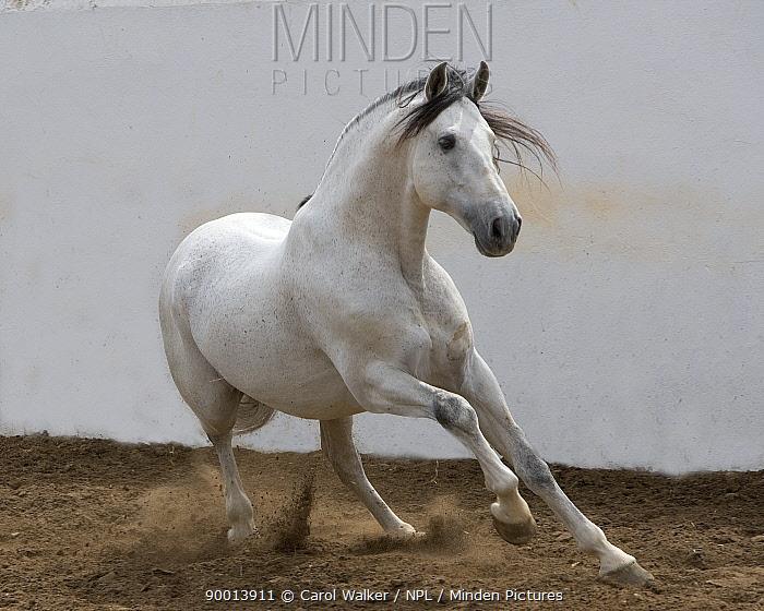 Gray Andalusian Stallion (Equus caballus) turning at canter, Ejicia, Spain  -  Carol Walker/ npl