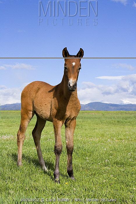 Andlausian filly (Equus caballus) Longmont, Colorado, USA  -  Carol Walker/ npl