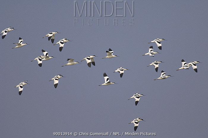 Pied Avocet (Recurvirostra avosetta) flock in flight, Norfolk, United Kingdom  -  Chris Gomersall/ npl