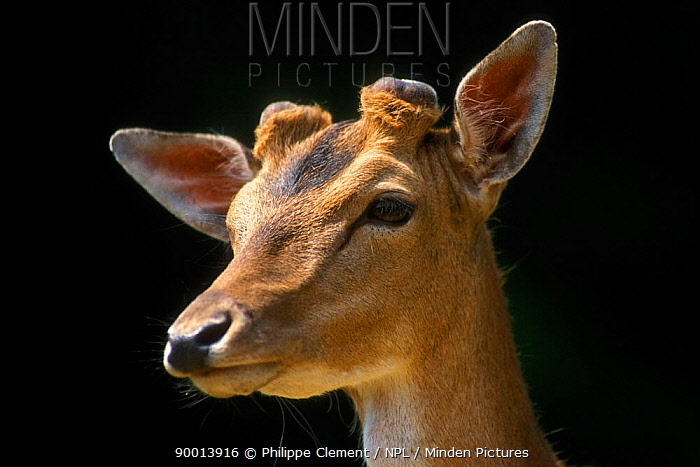 Fallow Deer (Dama dama) stag close-up of head with early stage antler growth, Germany  -  Philippe Clement/ npl