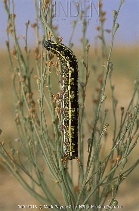 Caterpillar larva of Striped hawkmoth (Hyles, Celerio livornica) dark phase, Bahrain  -  Mark Payne-Gill/ npl