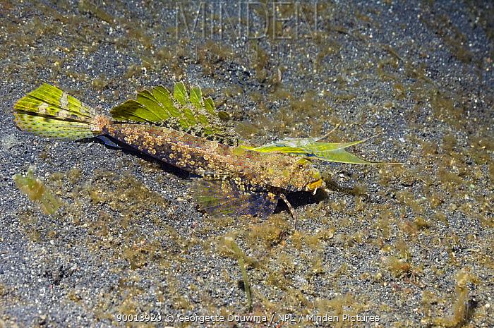 Dragonet (Synchiropus sp) Lembeh Strait, North Sulawesi, Indonesia  -  Georgette Douwma/ npl
