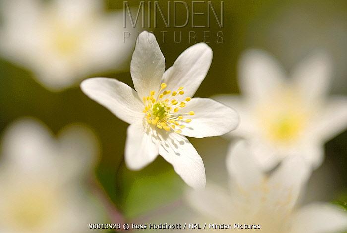 Wood Anemone (Anemone nemorosa), Devon United Kingdom  -  Ross Hoddinott/ npl