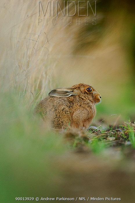 European Hare (Lepus europaeus) resting in a field margin, Derbyshire, United Kingdom  -  Andrew Parkinson/ npl