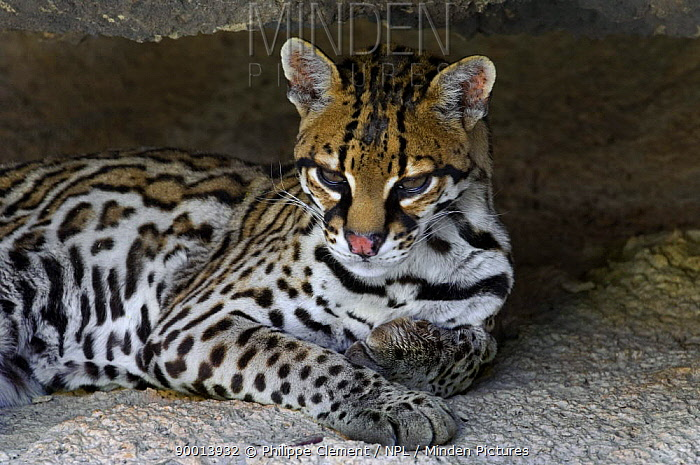 Ocelot (Felis pardalis) portrait, resting in the shade of a cave Arizona, USA Captive  -  Philippe Clement/ npl