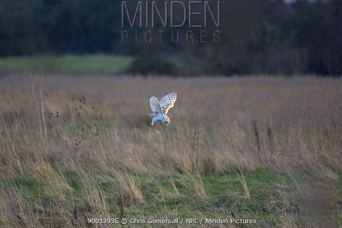 Barn Owl (Tyto alba) hunting over grazing marsh North Norfolk, England  -  Chris Gomersall/ npl