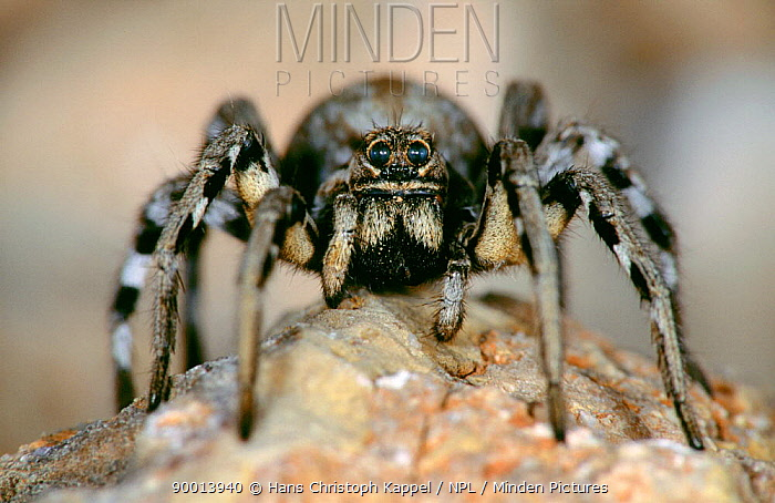Wolf Spider (Lycosidae) Spain  -  Hans Christoph Kappel/ npl