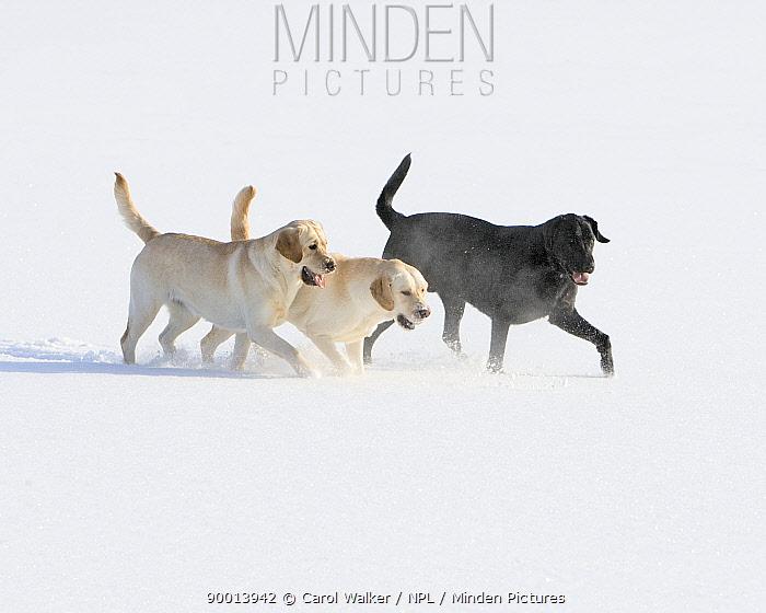 Labrador Retreivers (Canis familiaris) playing in snow Boulder, Colorado  -  Carol Walker/ npl