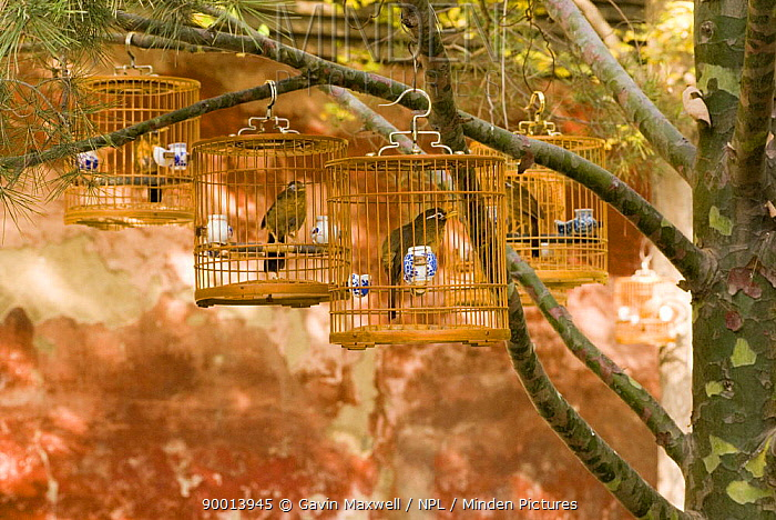 Laughing thrush, Hwamei (Garrulax canorus) in birdcages, Beijing Forbidden City, November 06, 'Wild China' series  -  Gavin Maxwell/ npl