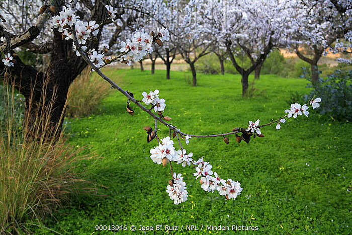 Almond (Prunus dulcis) orchard in blossom, Spain  -  Jose B. Ruiz/ npl