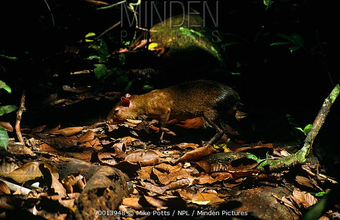 Agouti (Dasyprocta genus) in forest, Barrow Colorado Island, Panama  -  Mike Potts/ npl
