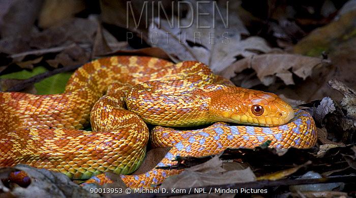 Bull Snake (Pituophis melanoleucus sayi) hybino (albino x hypo) colouration, captive, from Central USA  -  Michael D. Kern/ npl