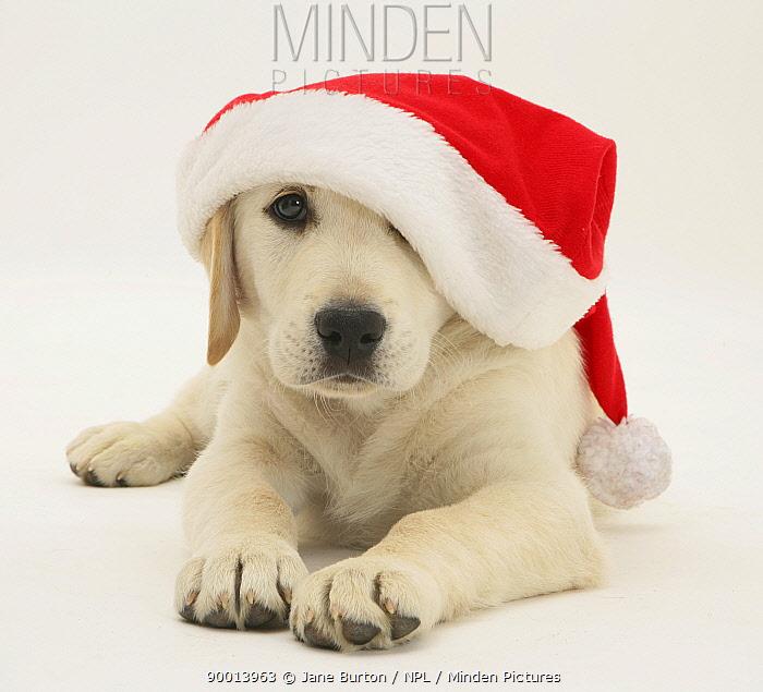 Golden Retriever puppy wearing a Father Christmas hat  -  Jane Burton/ npl