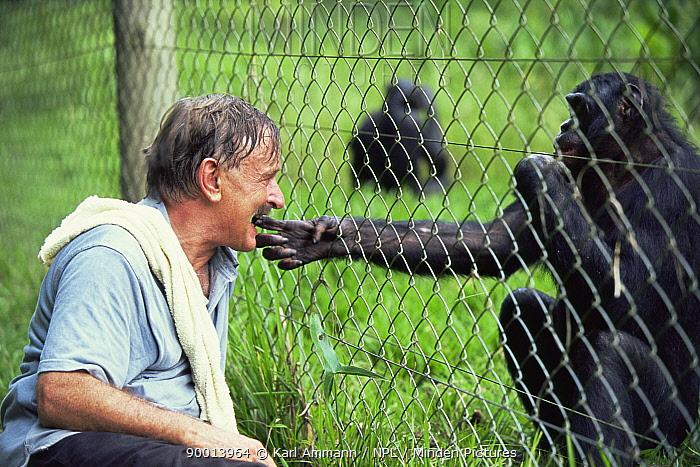 Bonobo (Pan paniscus) and photographer Karl Ammann interacting through fence Bonobo showing trust by extending hands for 'finger biting' Lola Ya Bonobo Sanctuary, Kinshasa, Democratic Republic of Congo  -  Karl Ammann/ npl