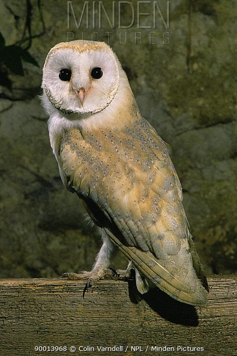 Barn Owl (Tyto alba) perched, United Kingdom  -  Colin Varndell/ npl