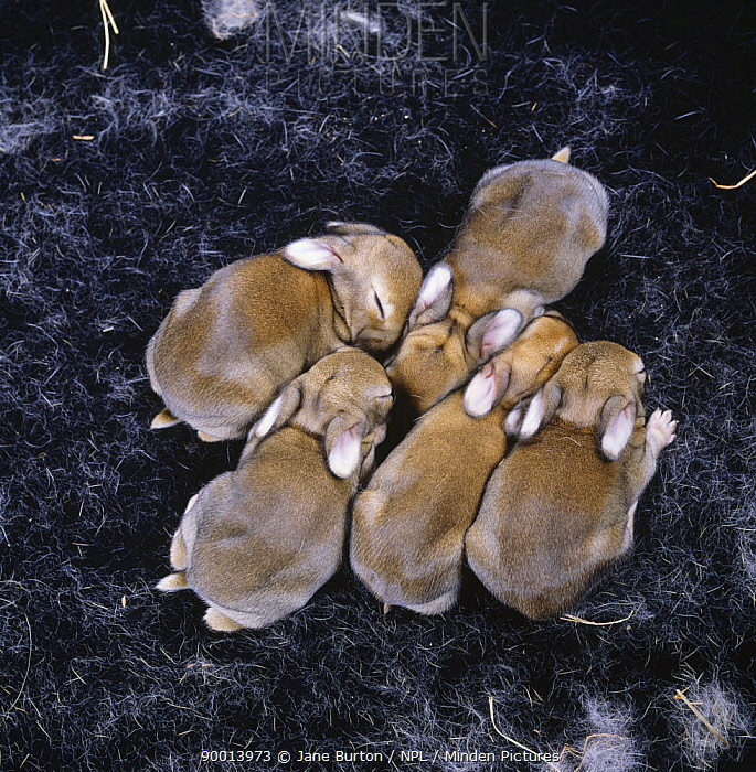European Rabbit (Oryctolagus cuniculus) five babies in nest, 5-days, United Kingdom  -  Jane Burton/ npl